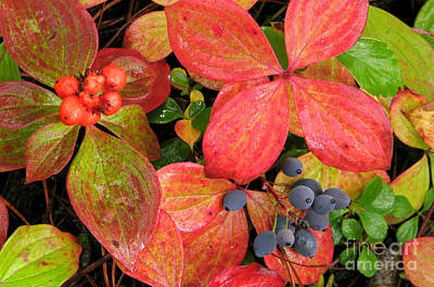 Photograph - Berry Delight by Frank Townsley