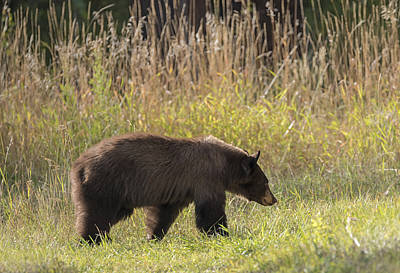 Photograph - Berry Hunting Bear by Loree Johnson