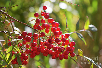 Photograph - Berry Nice by Linda Lees
