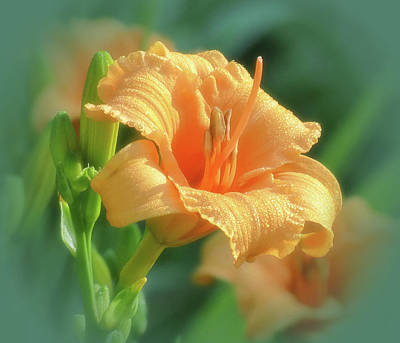 Photograph - Bertie Blooms With Vignette - Daylily by MTBobbins Photography