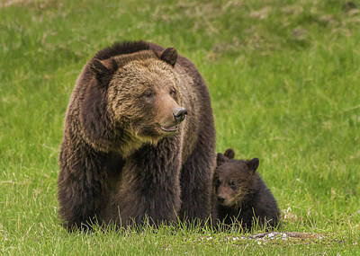 Photograph - Beryl Grizzlies In Spring 2017 by Yeates Photography