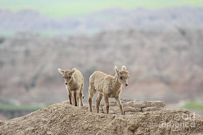 Photograph - Best Buds In The Badlands by Adam Jewell