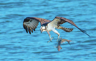 Best Osprey With Fish In One Talon Art Print