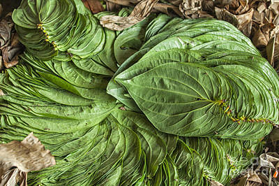 Photograph - Betel Leaves by Patricia Hofmeester