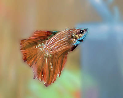 Photograph - Betta Fish by Dennis Dugan