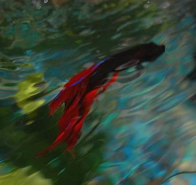 Betta In The Water Art Print