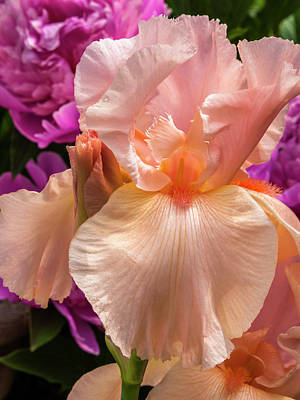 Photograph - Beverly Sills Iris by Mark Mille