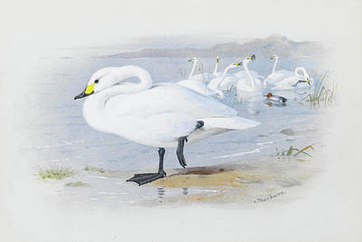 Swan Mixed Media - Bewick Swan By Thorburn by Archibald Thorburn
