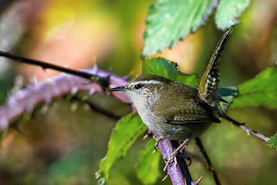 Photograph - Bewicks Wren by Craig Strand