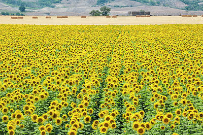 Photograph - Beyond The Sunflower Field by Denise Bush