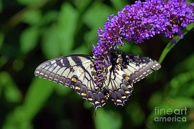 Photograph - Swallowtail On Purple by Patti Whitten