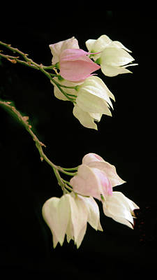 Photograph - Chinese Lantern Flower by Jessica Jenney