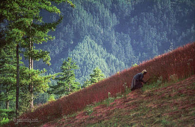 Photograph - Bhutan Buck Wheat Cutting by Paul Vitko