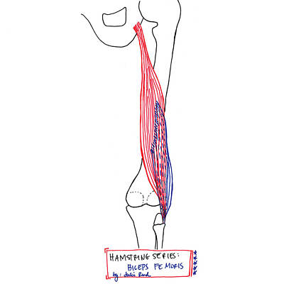 Drawing - Biceps Femoris by Julie Read