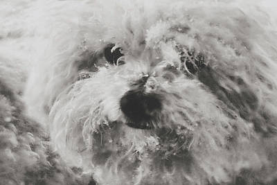 Photograph - Bichon Freeze by Susan Maxwell Schmidt