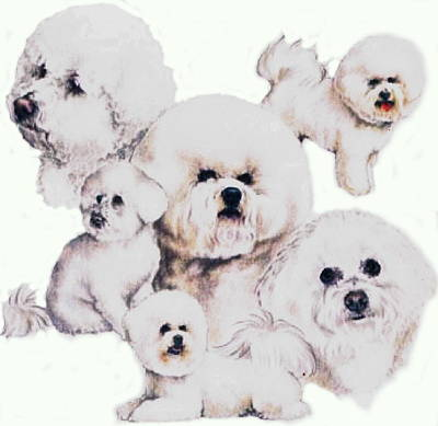 Drawing - Bichon Friese  by Barbara Keith
