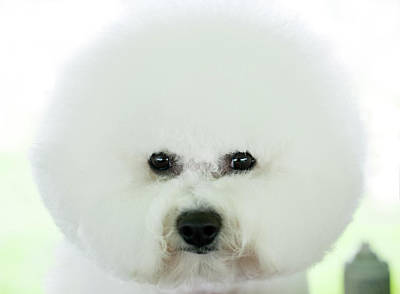Focus On Foreground Photograph - Bichon Frise Show Dog by Lynn Koenig