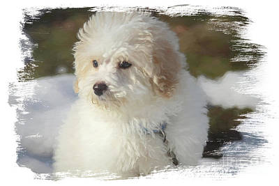 Photograph - Bichon Poo Pup by Eleanor Abramson