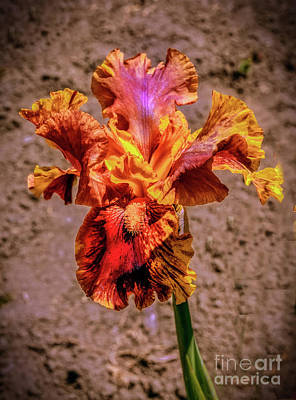 Photograph - Bicolor Beauty by Robert Bales