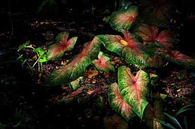 Photograph - Bicolor Caladium by Greg Reed