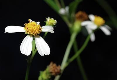 Biden Photograph - Bidens Alba by Richard Rizzo