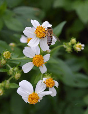 Photograph - Bidens Alba With Wild Honey Bee by rd Erickson