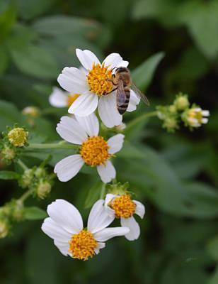 Photograph - Bidens Alba With Wild Honey Bee by rd Erickson