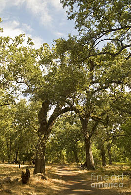 Bidwell Park Oak Tree Art Print