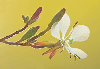 Photograph - Biennial Gaura by Jim Zablotny