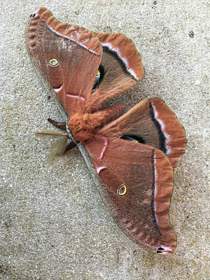 Photograph - Big Beautiful Silk Moth by William Tasker