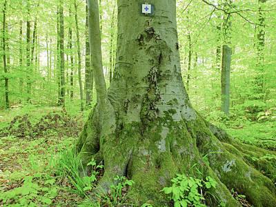 Photograph - Big Beech Tree Trunk Spring Season by Martin Stankewitz