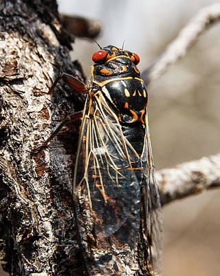 Photograph - Big Bend Periodic Cicada by Lon Dittrick