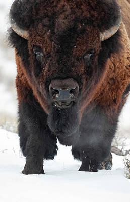 Photograph - Big Bison by Mark Miller