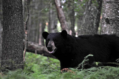 Photograph - Big Black Bear by Mike Martin