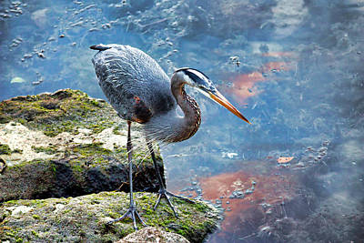 Photograph - Big Blue Aka Great Blue Heron  by HH Photography of Florida