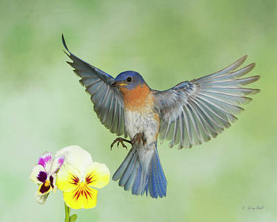Photograph - Big Blue And The Pansies by Gerry Sibell