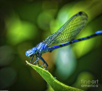 Photograph -  Big Blue Eyes Damselfly  by Mitch Shindelbower