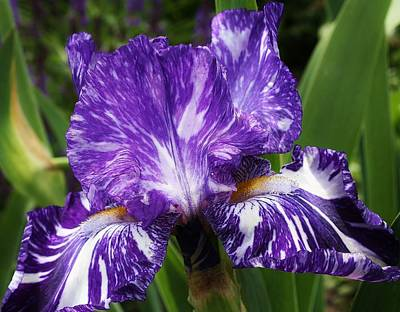 Photograph - Big Blue Iris by Bruce Bley