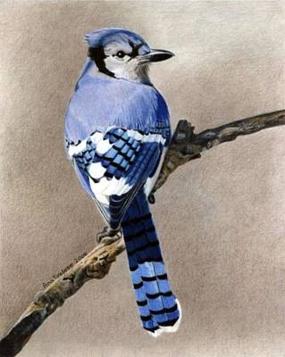 Print featuring the drawing Big Blue Jay by Ana Tirolese