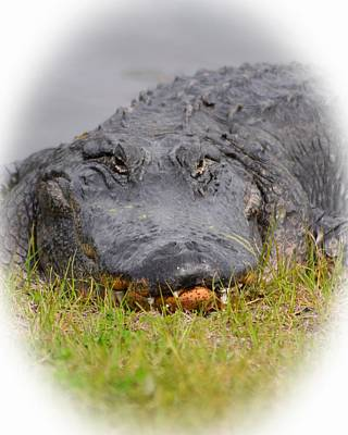 Photograph - Big Boy Gator 2 by Sheri McLeroy