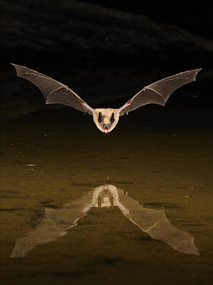 Big Brown Bat Reflection Art Print by Scott  Linstead