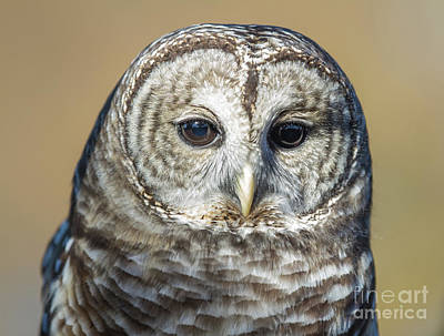 Photograph - Big Brown Eyes by Chris Scroggins