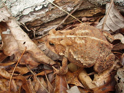 Photograph - Big Brown Toad by Allen Nice-Webb