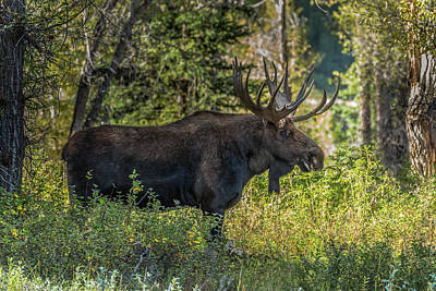 Photograph - Big Bull Moose Washakie by Yeates Photography