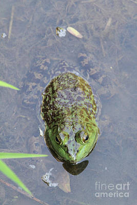 Bullfrog Photograph - Big Bullfrog by Judy Whitton