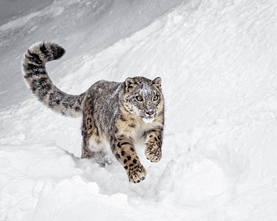Photograph - Big Cat On A Mission by Wes and Dotty Weber