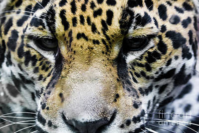 Photograph - Big Cat by Suzanne Luft
