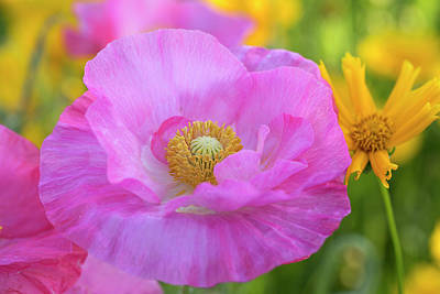 Photograph - Big Colorful Poppy by Lynn Hopwood