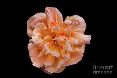 Photograph - Big Colorful Rose by Patricia Hofmeester