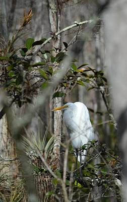 Photograph - Big Cypress Swamp - Great Egret by rd Erickson